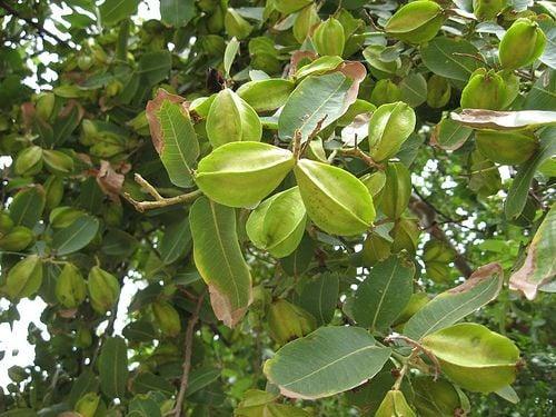Image result for अर्जुन का पेड़