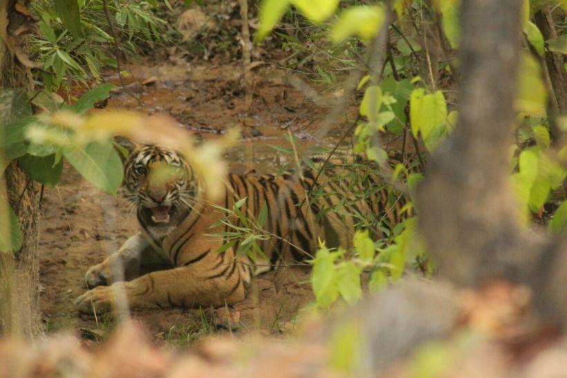 भारत में यहां है बाघों का सबसे अधिक घनत्व, देखने आते हैं विदेशी मेहमान