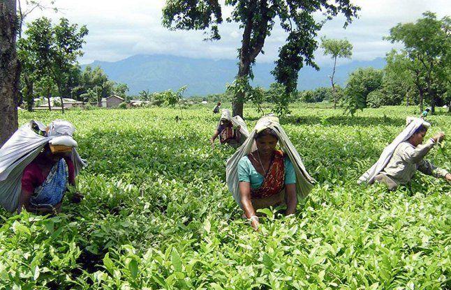 चाय बागान श्रमिकों को राज्य सरकार कर रही है प्रताडि़त
