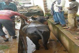 गौरव पथ निर्माण के दौरान बनाई नाली में गिरी भैंस, जेसीबी से निकाला