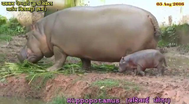 कानन में नन्हा हिप्पो कर रहा अठखेलियां- देखिए पूरा वीडियो