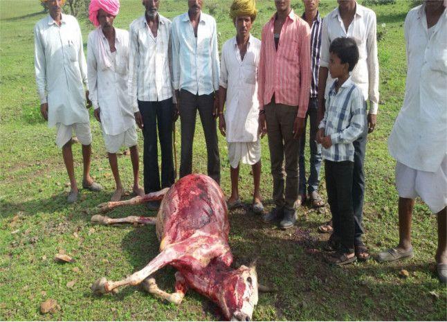 दरिंदगी की इंतेहा...पांच जिंदा गायों की नोंच ली खाल