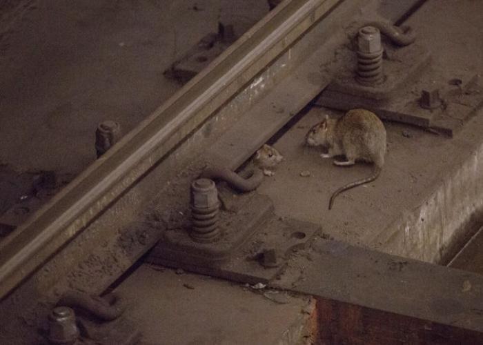 जानिए, कैसे चूहे मारने पर 4 लाख का हुआ खर्च