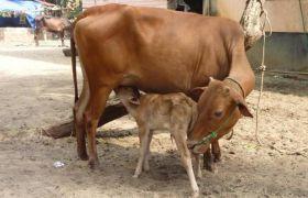 ये अकेली गाय बनी अनाथों की नाथ, पाल रही हजारों का परिवार.... जानें पूरा मामला