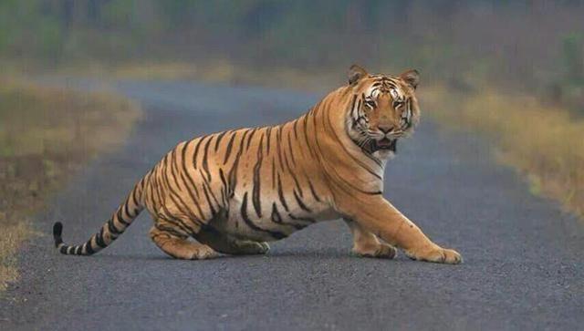बाघ की दहशत में मनाया नववर्ष
