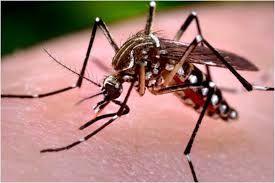 'डेंगू व चिकनगुनिया का इलाज है होम्योपैथ'