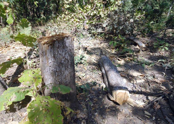 तस्करी और कटाई का धंधा जोरों पर, प्रखंड में लकड़ी माफिया सक्रीय