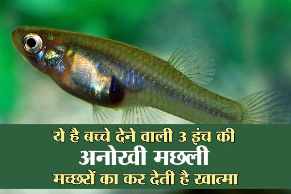 Gambusia fish - Mosquitofish -Gutter Guppy Fish - Jabalpur