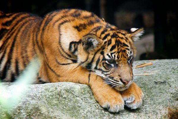 पेंच को छोड़ बाकी नेशनल पार्कों में बढ़ गई बाघों की संख्या