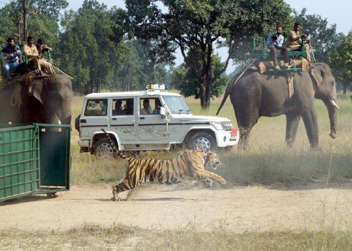 मां की मौत के बाद बाड़े में सीखे शिकार के दाव पेंच, अब जंगल में शिकार करेगी यह बाघिन