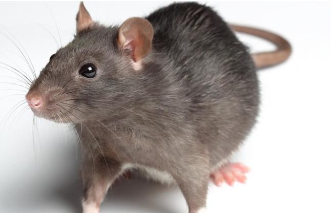 एक चूहा पकडऩे पर बीस हजार रुपिया दे रही है जर्काता सरकार