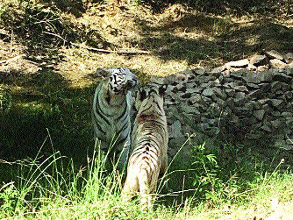 अब सफेद बाघ रघु और राधा बढ़ाएंगे ह्वाइट टाइगर सफारी की शोभा, जाने कैसे