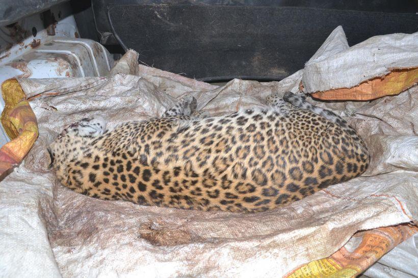 तीन माह के तेंदुए की संदिग्ध मौत, शरीर पर मिले चोट के निशान