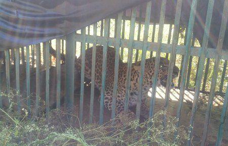 ढालखेड़ा के पिंजरे में कैद हुआ तेंदुआ