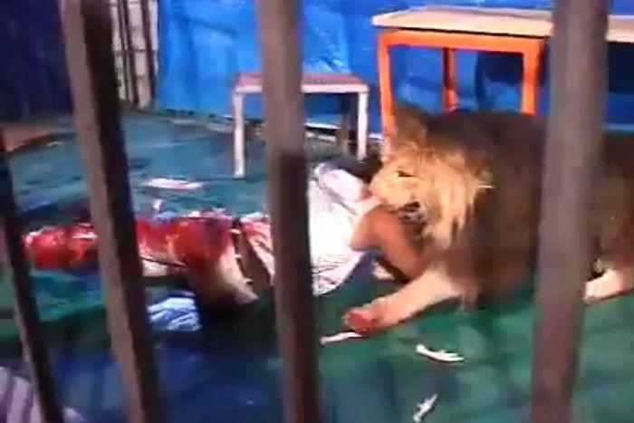 वीडियो देख रोंगटे खड़े हो जाएंगेआपके, कैसे ट्रेनर को पिंजड़े में खींच ले गया शेर
