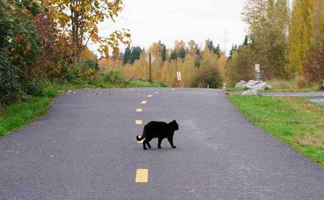 जानें! बिल्ली का काटा हुआ रास्ता क्यों माना जाता है अशुभ?