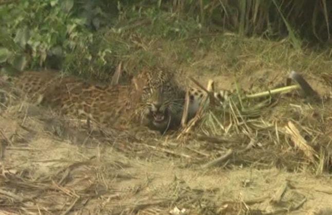 जाल में फंसा तेंदुआ, शिकारी जान बचाकर भागे