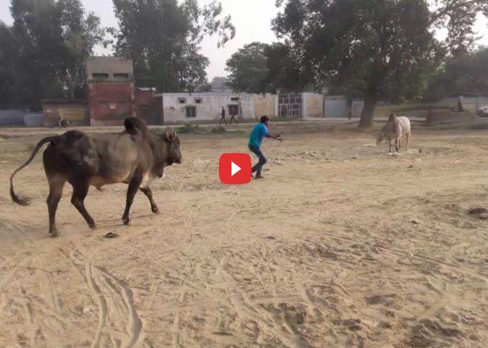 जब दो गुस्सैल सांडों के बीच फंस गया युवक, देखें वीडियो