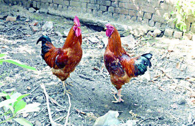 OMG: महिला मरे मुर्गा-मुर्गी को लेकर कोतवाली पहुंची, बोली- हत्या हुई