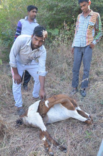 बाघ ने 7 बकरियों को मारा, क्षेत्र में दहशत