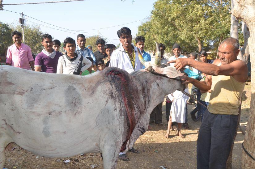 अब बाघ ने गाय को बनाया शिकार, दो बछड़े भी मारे