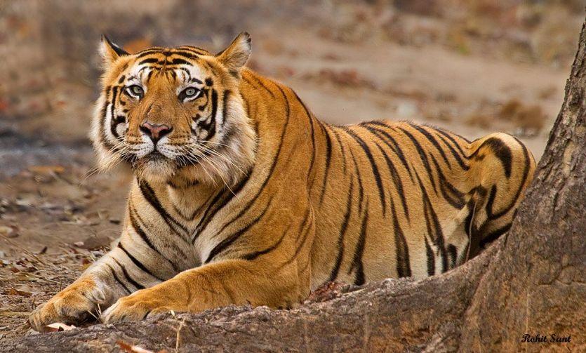 बाघ-बाघिन के जोड़े पर एसटीआर की निगाह