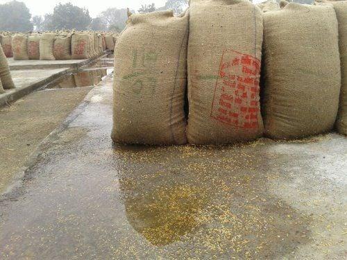 बारिश से भीगा हजारों क्विंटल धान