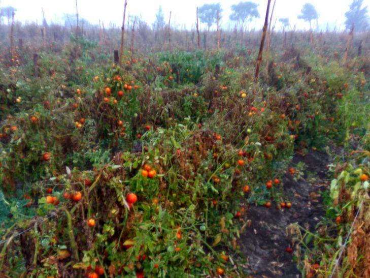 खून बढ़ाने वाला टमाटर किसानों का सुखा रहा खून
