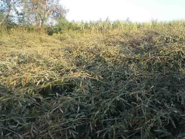 पाले से बचाव के लिए धुंएसेढंक दें खेतों को