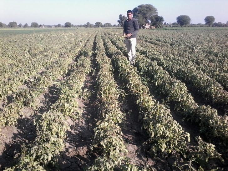 कड़ाके की ठंड से फसलों को नुकसान