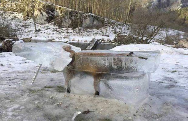 नदी में गिरने के बाद बर्फ में जम गई लोमड़ी