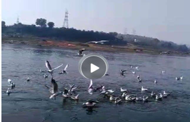 नर्मदा मंत्र सुन विदेशी परिंदों ने किया कलरव, VIDEO में देखें गूंज उठा तट