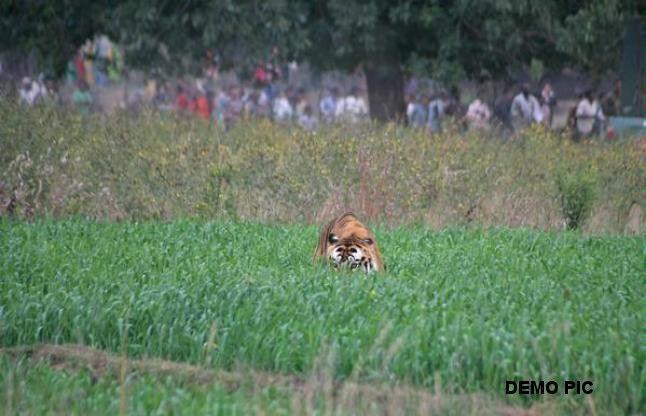 VIDEO: गांव में घूम रहा है बाघ, डरे हुए ग्रामीण सर्द रातों में दे रहे हैं पहरा