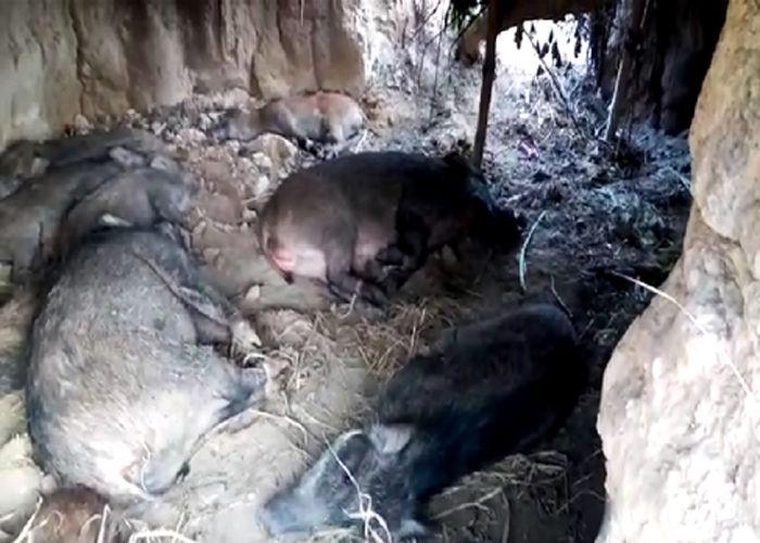 यहां ट्रेंकुलाईज कर हो रही जानवरों की तस्करी,9 जंगली सुअर की खेप बरामद