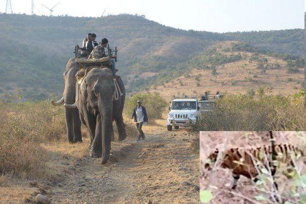 दो हाथी, 200 लोग और 30 कदम की दूरी पर था बाघ, फिर भी नहीं पकड़ सके