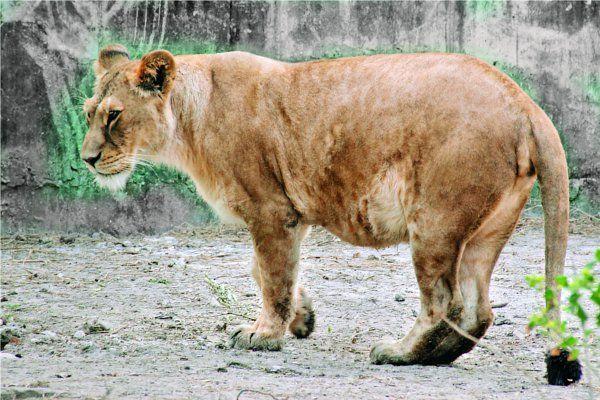 उम्मीद से मेघा: चिडिय़ाघर में जल्द गूंजेगी नन्हे बब्बर शेर की दहाड़