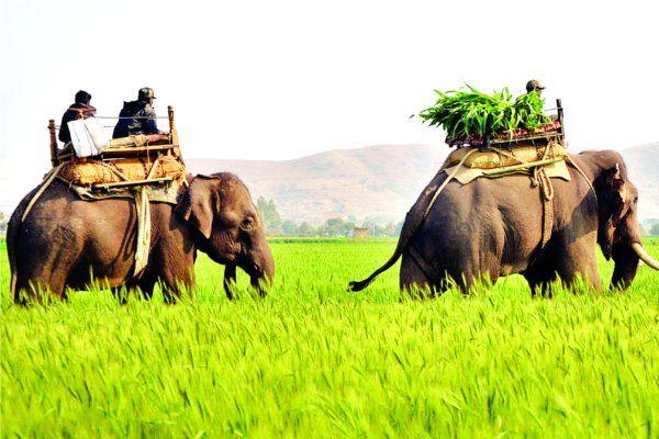 यहां 'शेरखान' के लिए परेशान है पूरा अमला, 200 अधिकारी और 4 हाथी भी बेबस