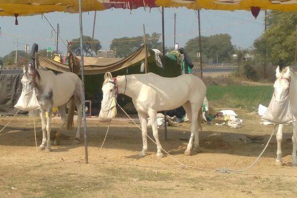4 लाख में बिका घोड़ा, मारवाड़ी और हरियाणवी नस्लें ज्यादा आ रही पसंद