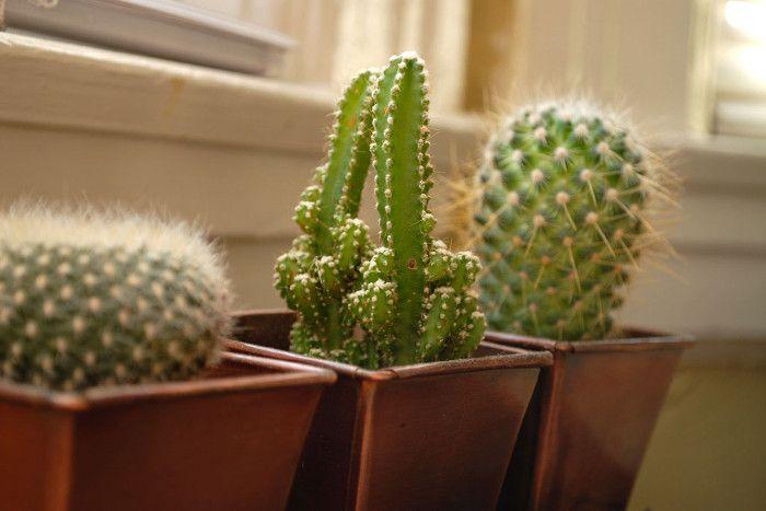 अगर चाहते हैं सुख-शांति तो घर में न लगाएं कैक्टस और कंटीले पौधे