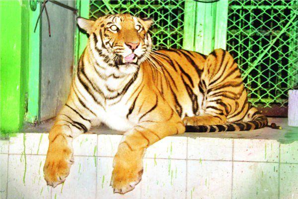 इंदौर जू में आएगी दोहरी खुशी, शेरनी के बाद बाघिन भी बनेगी मां