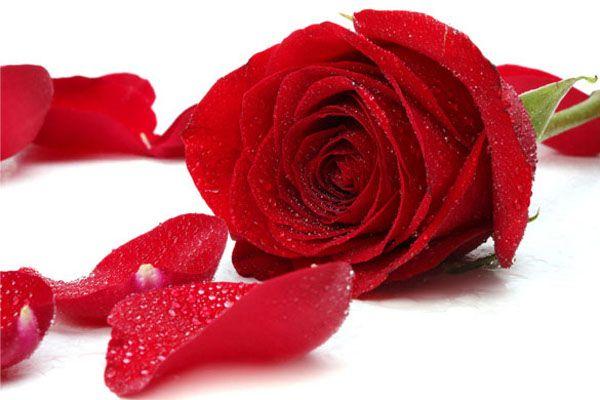 Rose Day: आज से शुरू हो गई प्यार की फुहार, हर रंग कहता है कुछ खास