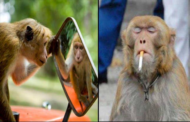यहां ऐसी लग्जीरियस लाइफ जीते हैं बंदर, खुद ही बनाए अपने ठाठ