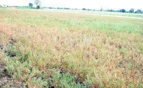 फिर बादल रहा मौसम का मिजाज, बारिश और ओले का खतरा बढ़ा, किसान पेरशान