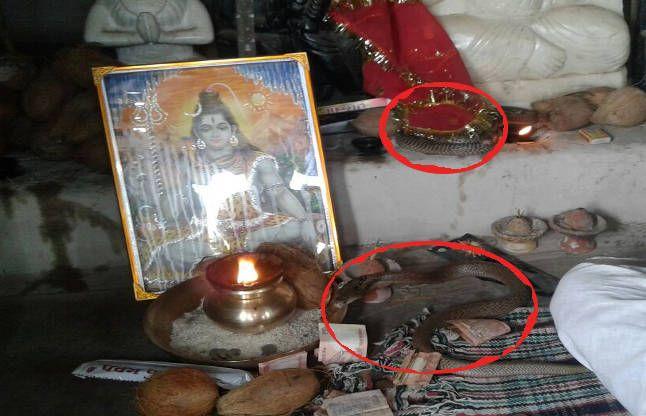 नाग-नागिन देखने पहुंचे अधिकारी, 6 दिन से भगवान शिव के पास बैठा है जोड़ा