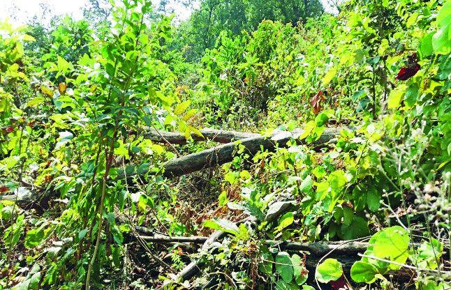 जिन्हें सौंपी वनों की सुरक्षा उन्हीं ने की अनदेखी, कटवा दिए हजारों पेड़