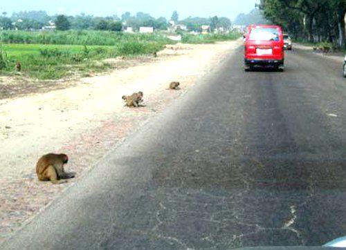 हाईवे पर अकाल मौत मर रहे बंदर