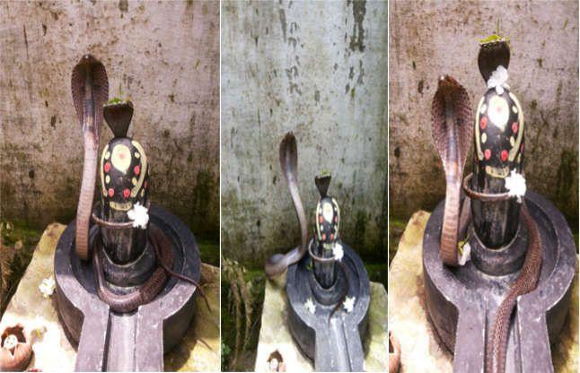 शिवलिंग से लिपटते ही सांप ने फैलाया फन, छोड़ते ही सीधे पिंडी पर बैठा