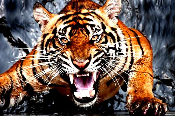 यहां खेतों में घूम रहा बाघ