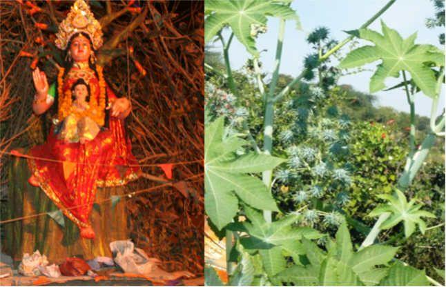 वैज्ञानिकों ने माना चमत्कारी, होलिका के साथ ही जलता है ये गुणकारी पौधा