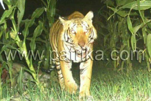बछड़े का शिकार कर कुएं से तैरते हुए ले गया बाघ, सामने आई तस्वीर